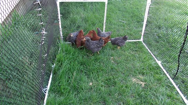enclos matériau poulailler poules