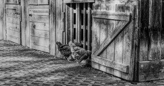 poules poulailler enclos poule